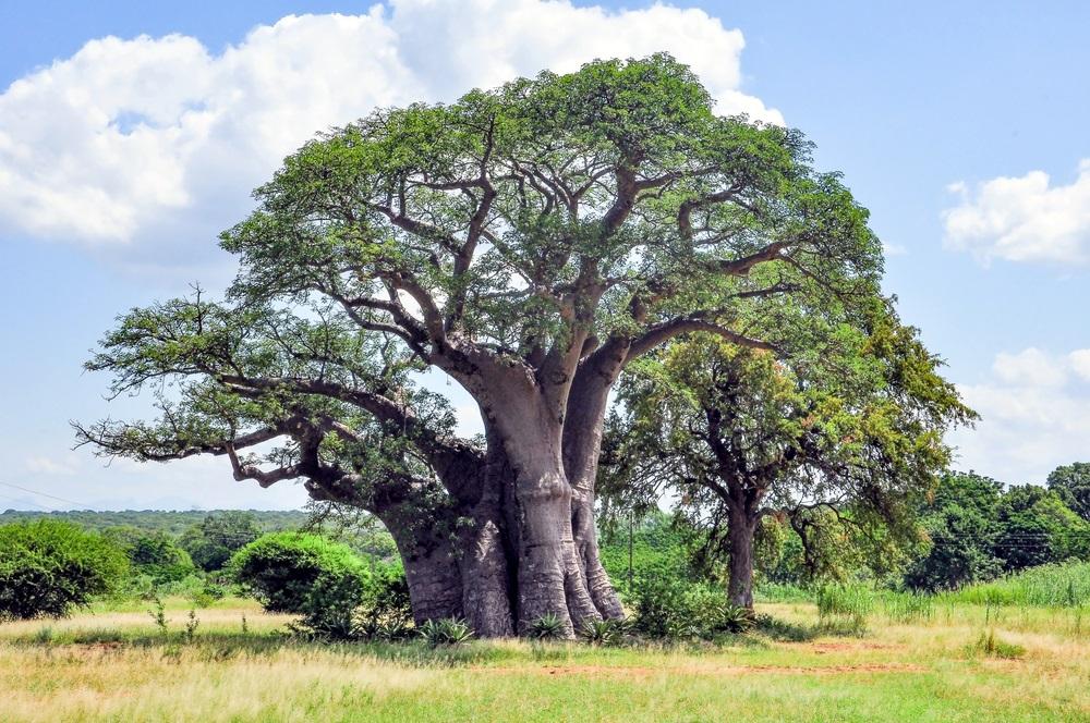 arbre-baobab