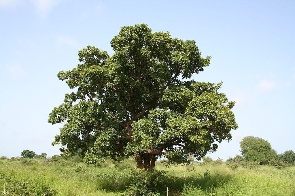 arbre-karite