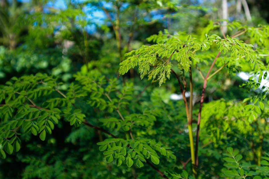 arbre-moringa