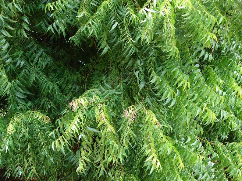 arbre-neem