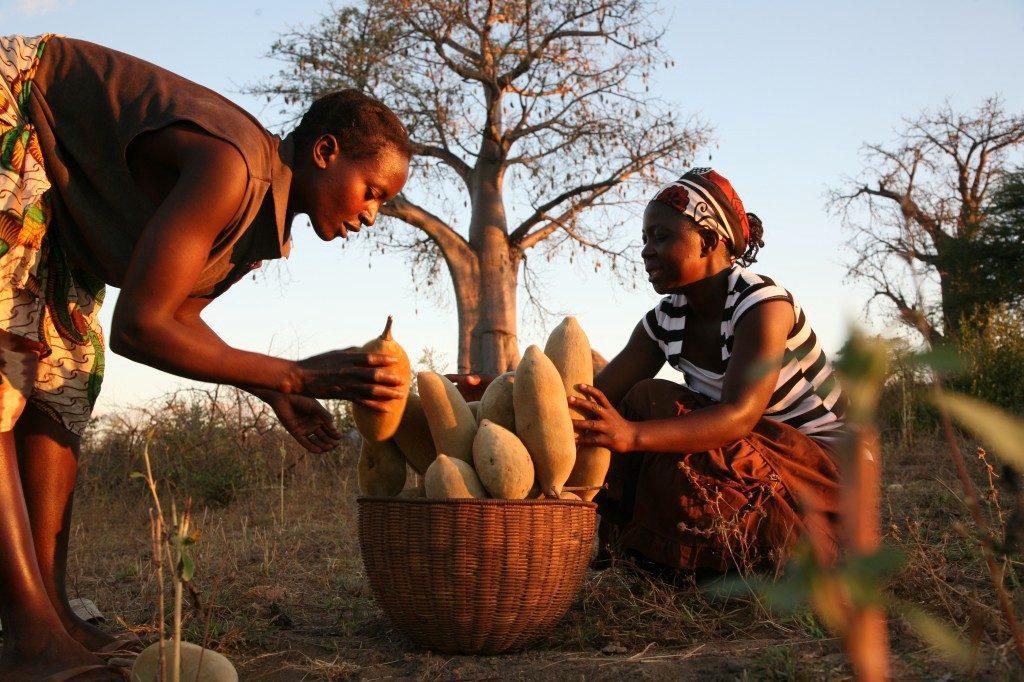 huile-baobab-ramassage