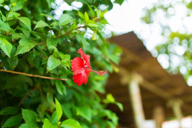 fleur-hibiscus