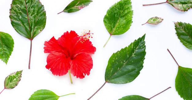 fleur-hibiscus-feuilles